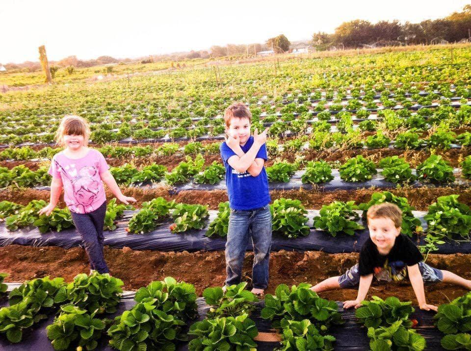 strawberry farms brisbane