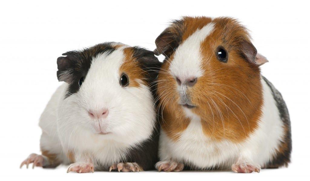 Guinea pigs brisbane