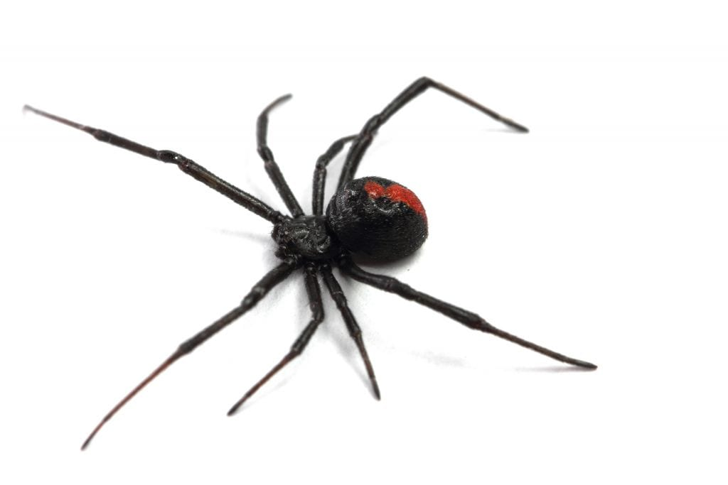 How to treat spider bite