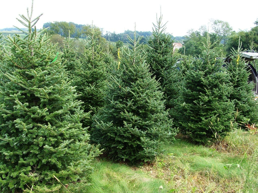 the best real christmas trees brisbane has to offer - How Long Do Real Christmas Trees Last
