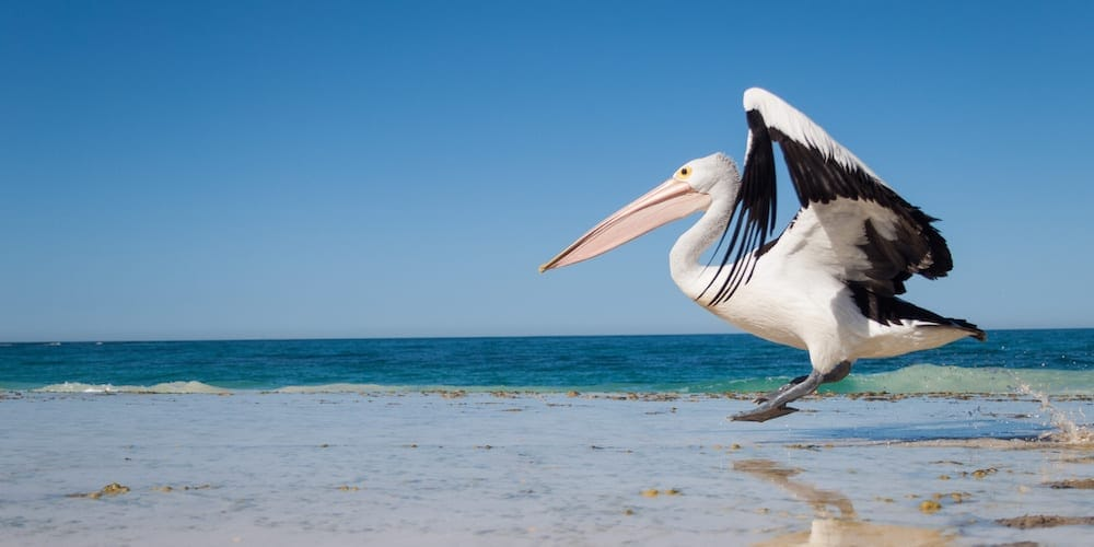 Pelican Feeding Gold Coast