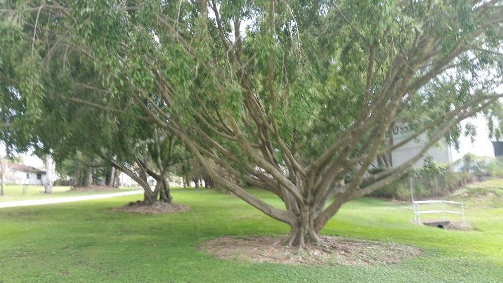 Climbing trees Kedron Brook Bikeway