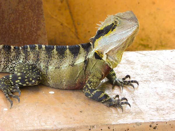 Roma Street Parkland - Lizard