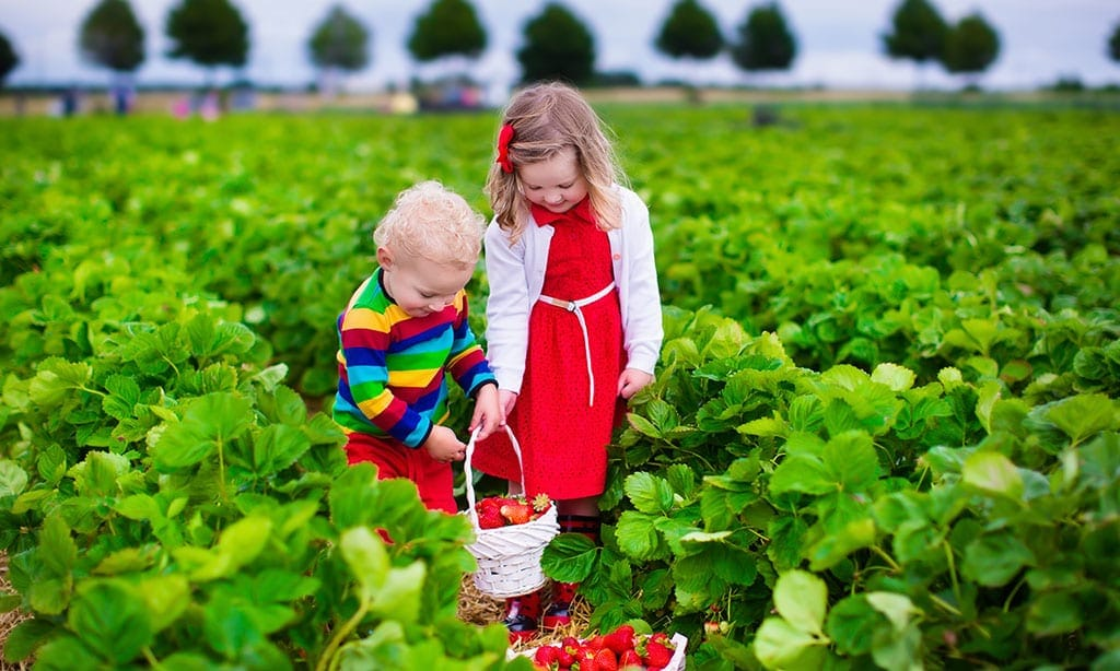 Must Do Things To Do in Stanthorpe With Kids In Tow, Strawberry picking
