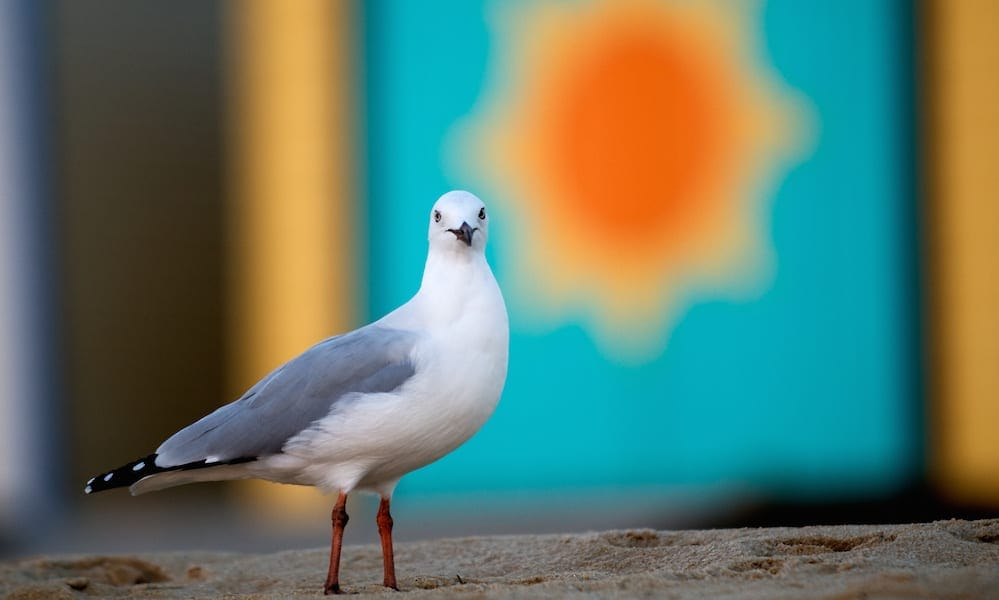 Seagull with colourful wall behind him - Best Fish And Chips Gold Coast