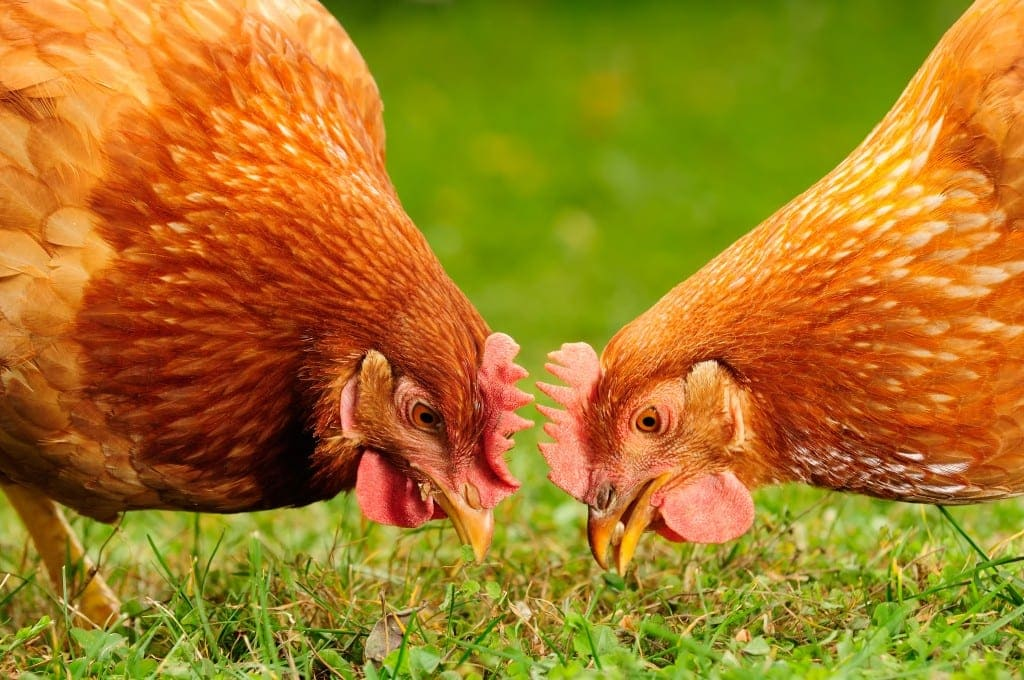 backyard chickens - why NOT to get backyard chickens