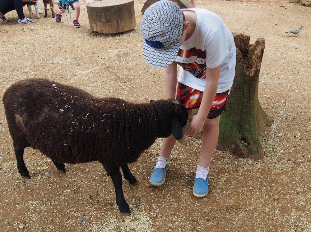 Macadamia Castle feeding a sheep in the baby animal farm