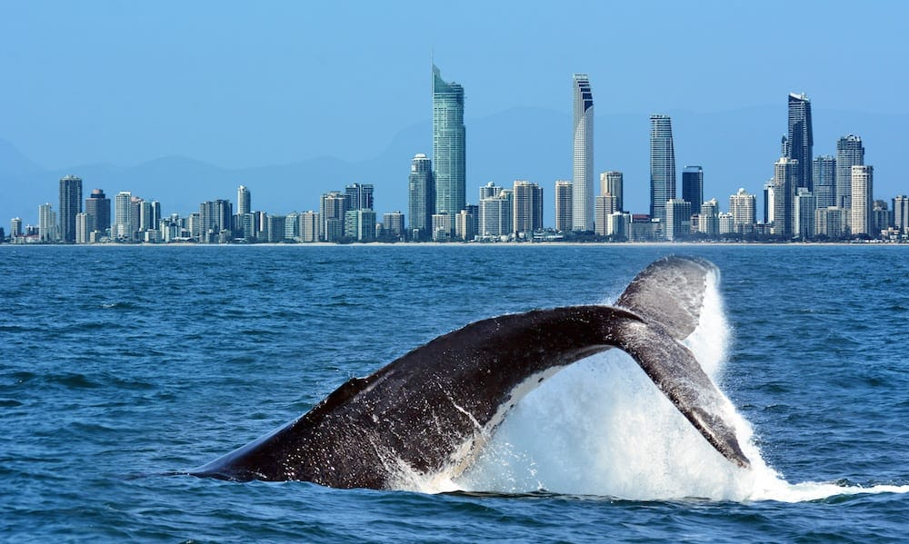 Whale Spotting Gold Coast - The tail of a Humpback Whale (Megaptera novaeangliae) rise above the water against Surfers Paradise skyline in Gold Coast Queensland Australia