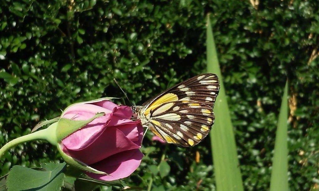 Butterflies around Brisbane