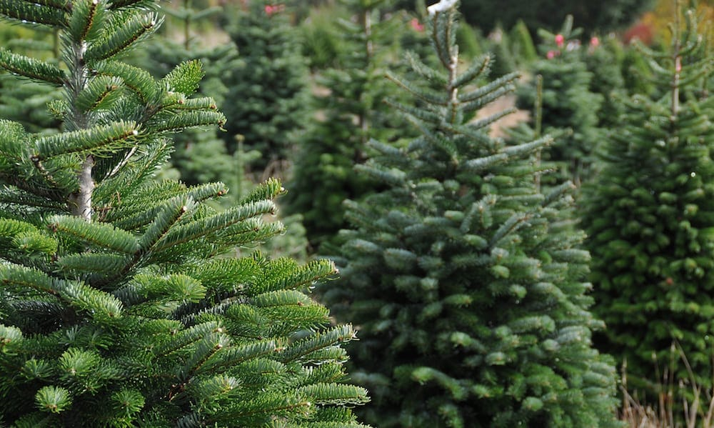 Where to Buy a Real Christmas Tree – Gold Coast to Byron ...