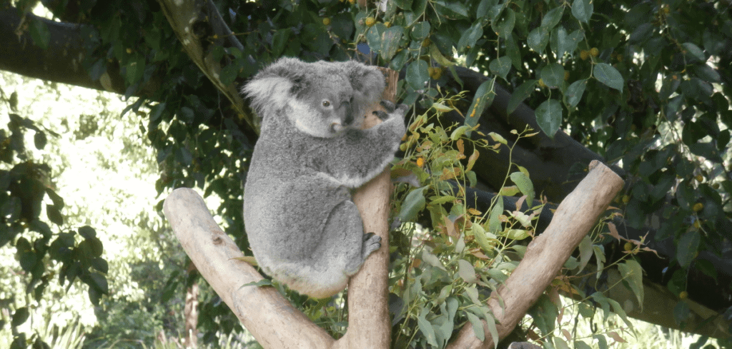 Daisy Hill Koala Centre – a Free Local Family Destination!