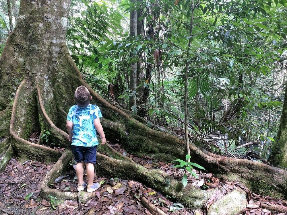 Cougal Cascades little boy staring up at rainforest tree