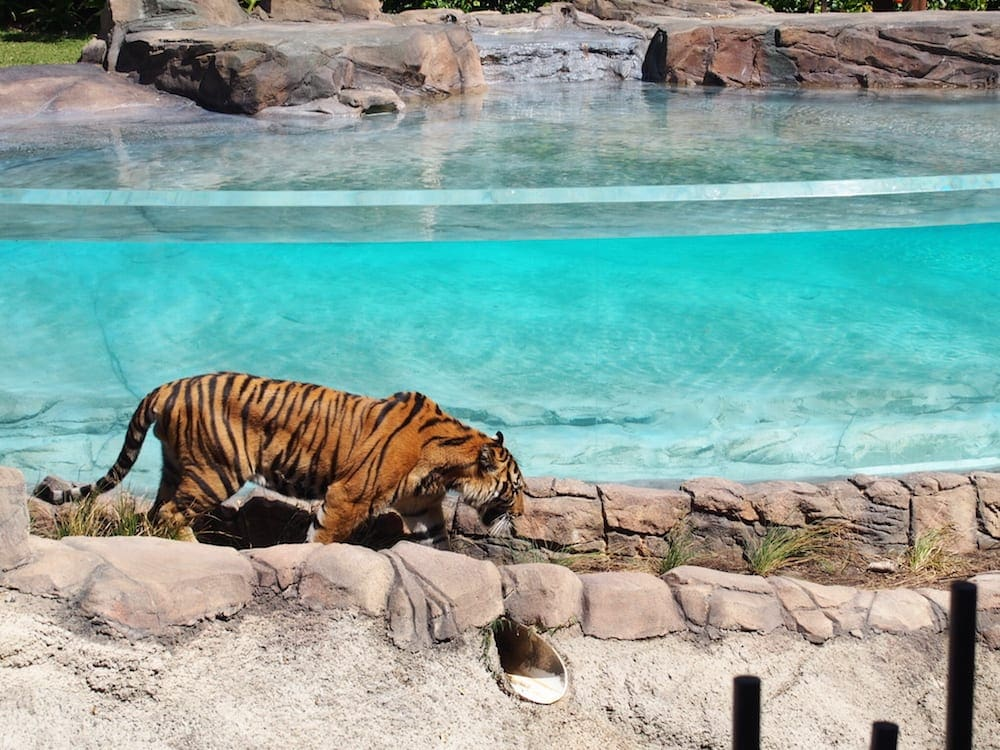 tiger island at dreamworld for families