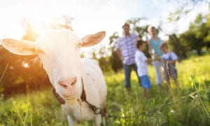 Goat and family on a farm Farm Stays Gold Coast