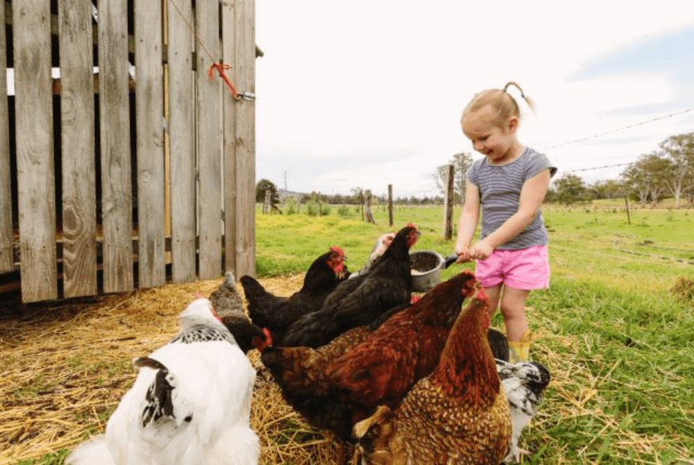 Little Girl chickens Farm Stay Tommerups