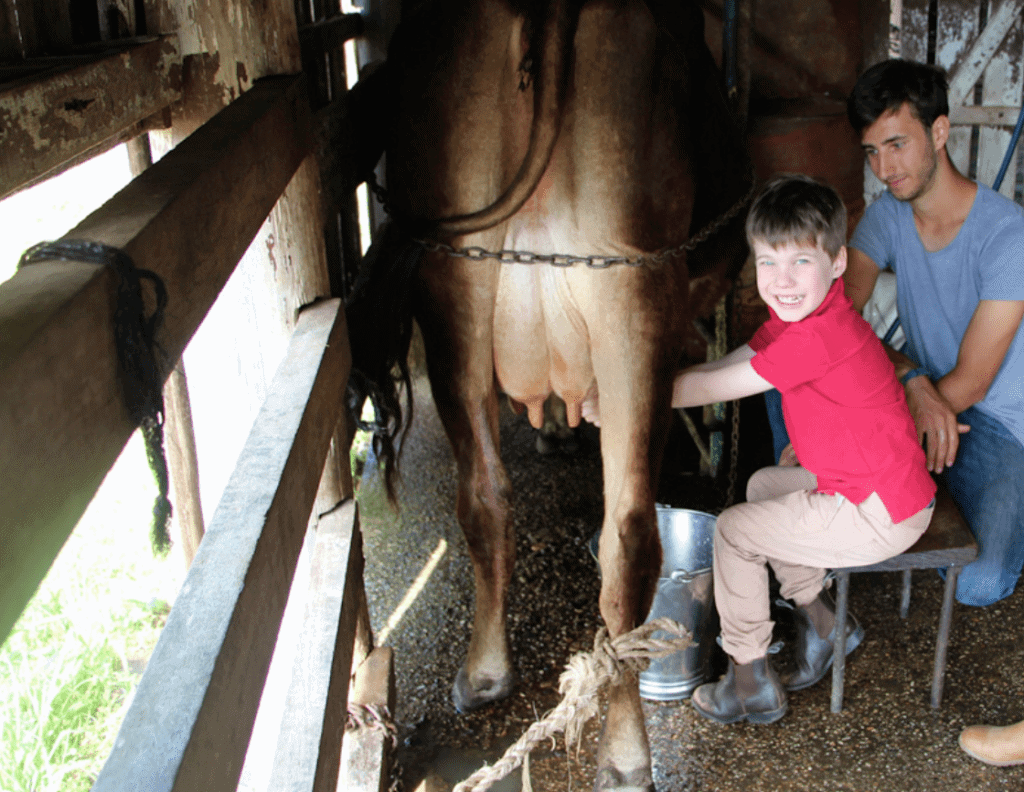 little boy milking a cow farm stay gold coast
