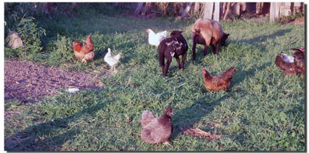 Chickens FarmStay Byron Bay