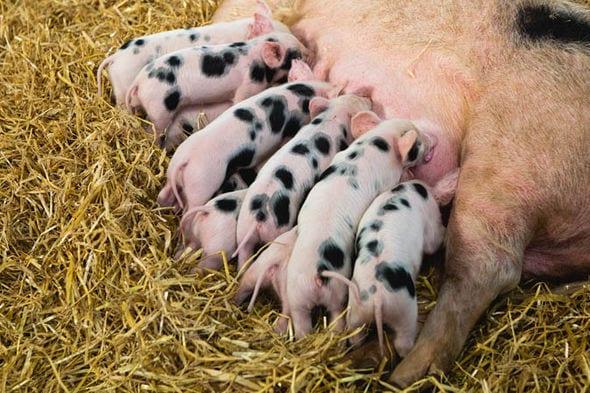 pat a pig at a farm visit Brisbane