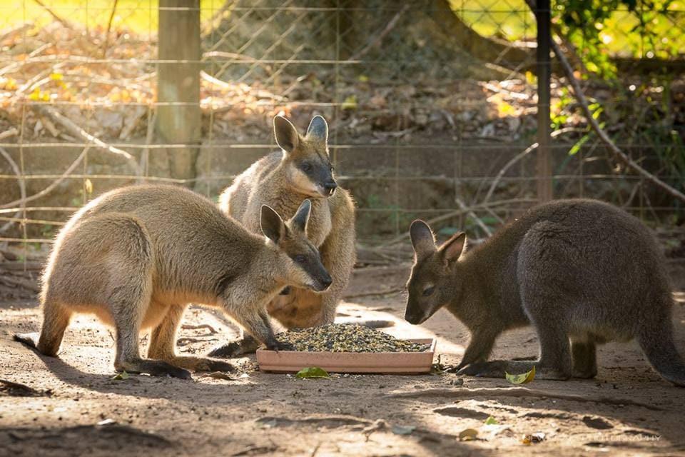 big pineapple zoo kangaroos