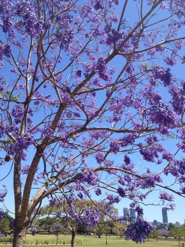 purple flowering trees - new farm park
