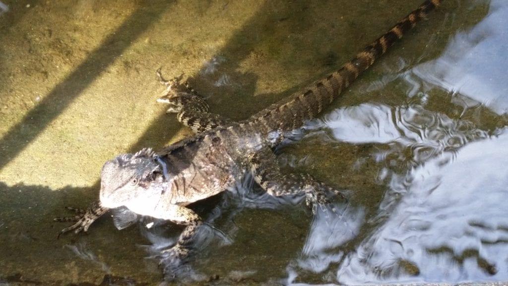 LIzards Swimming at Brisbane City Botanical Gardens