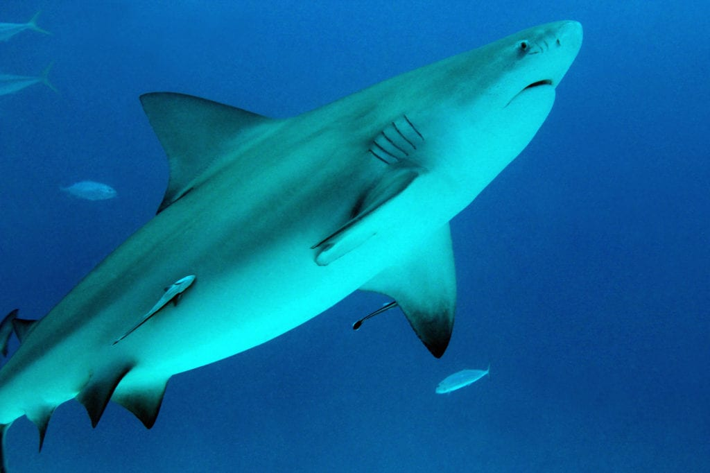 deadliest animals bull shark