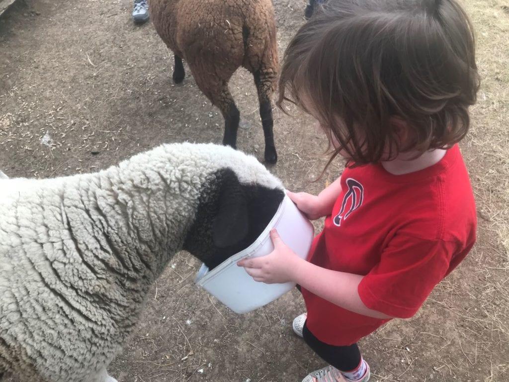 cedar glen farmstay sheep
