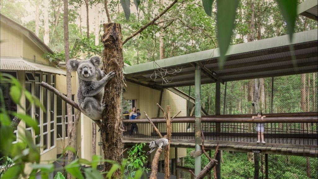 Koala at Daisy Hill