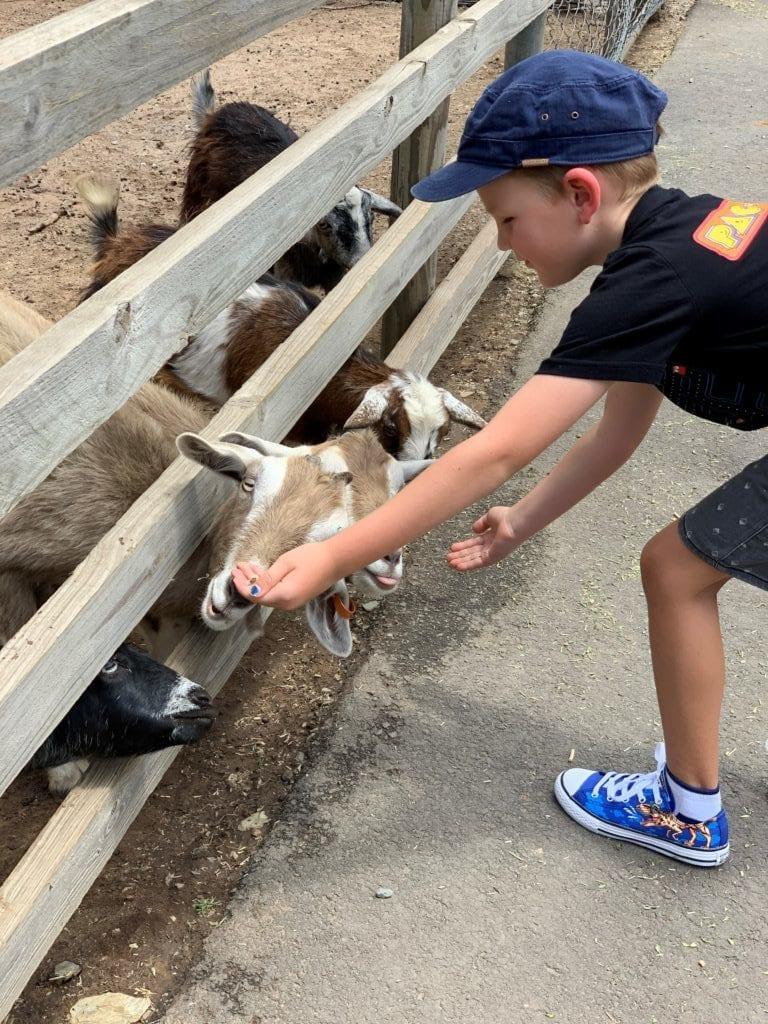 Goats at White Ridge Farm