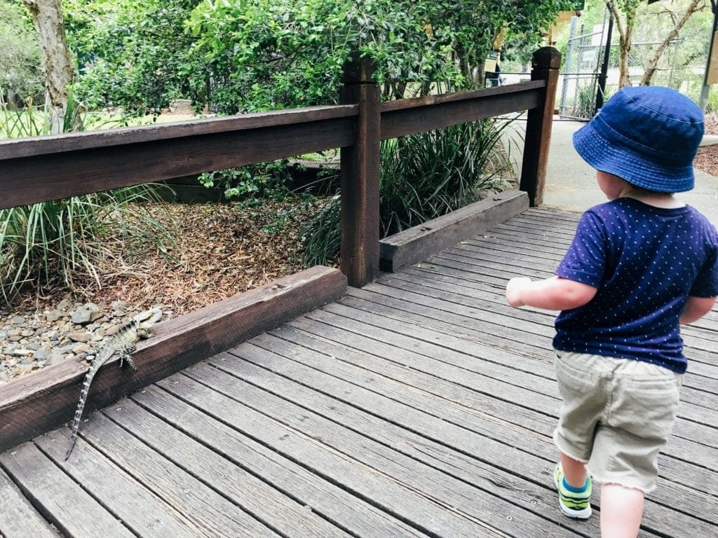 Water dragon at Ipswich zoo