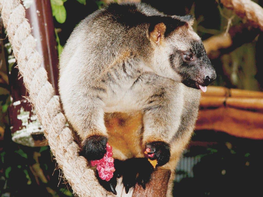 Tree Kangaroo Dreamworld