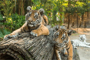 Dreamworld Tigers