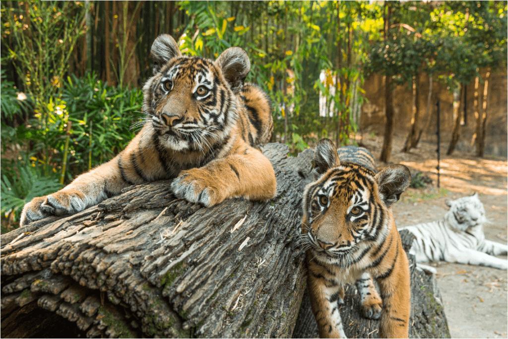 Dreamworld Tigers