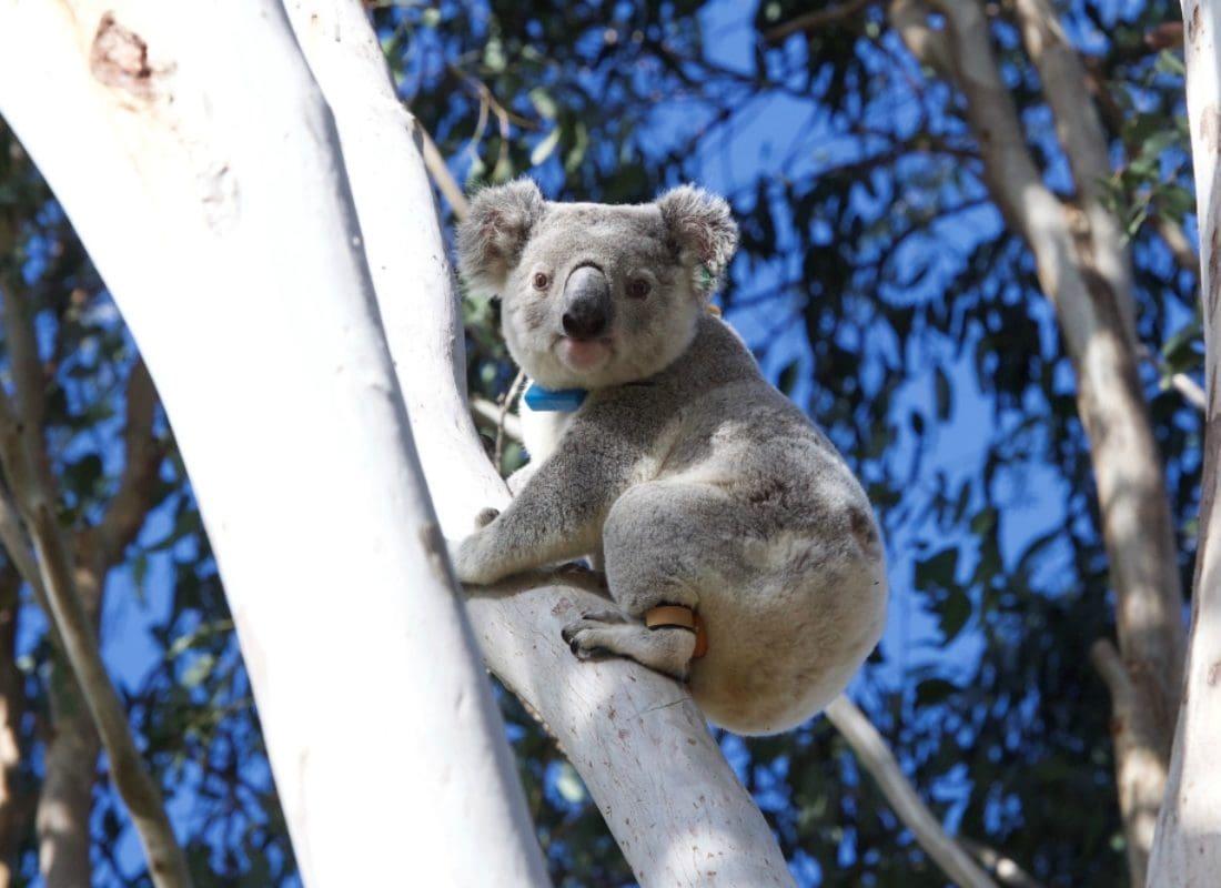 Spicers Hidden Vale Koala Safari