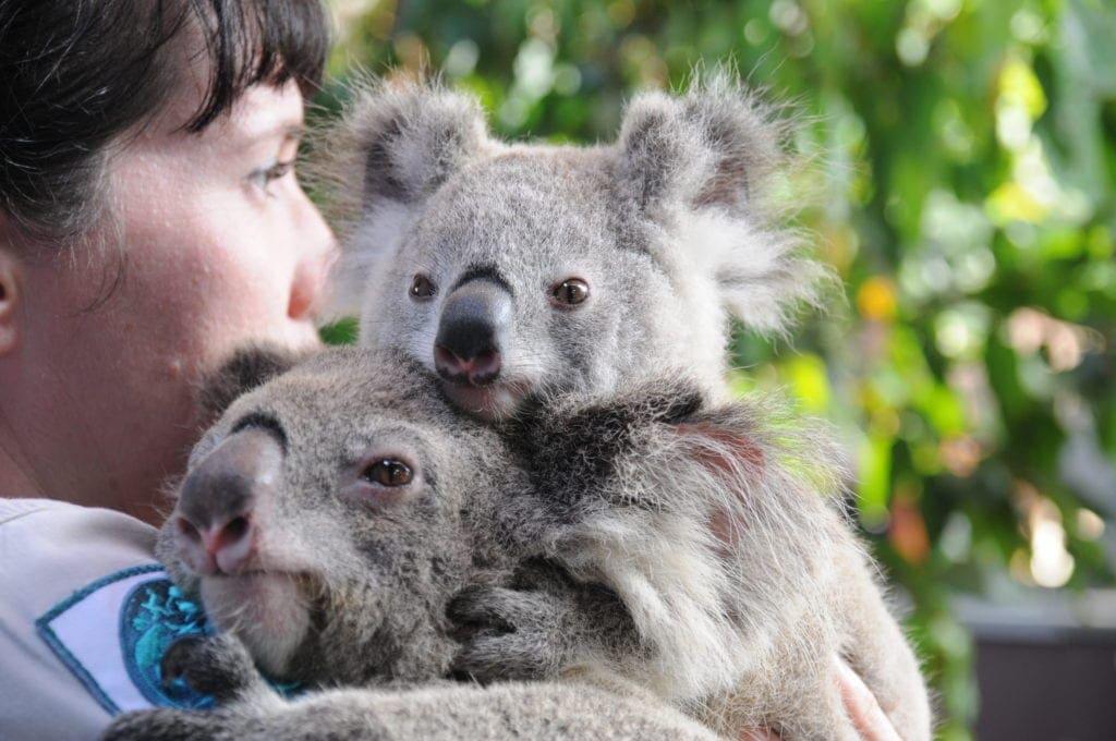 Dreamworld Koala Keeper talks