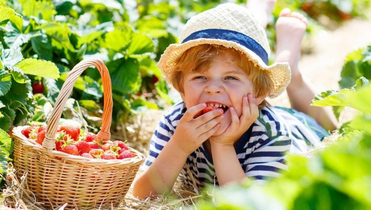 Strawberry Picking Sunshine Coast