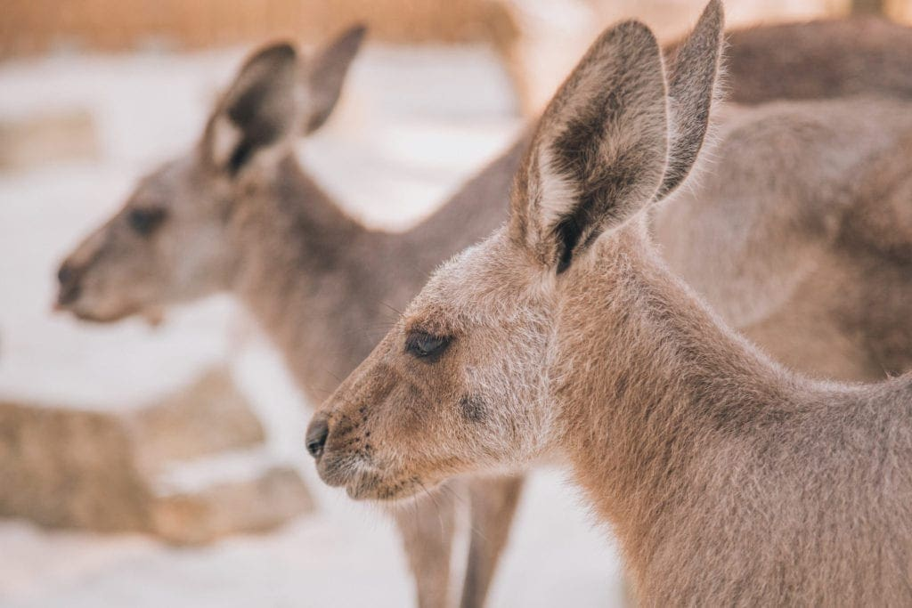 Kangaroos at Dreamworld