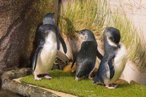 Sea Life Sunshine Coast little blue penguin