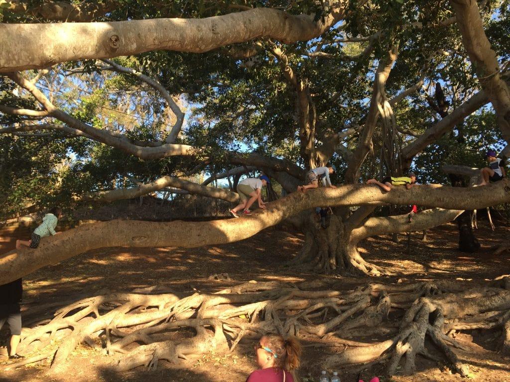 Climbing trees at Wellington Point