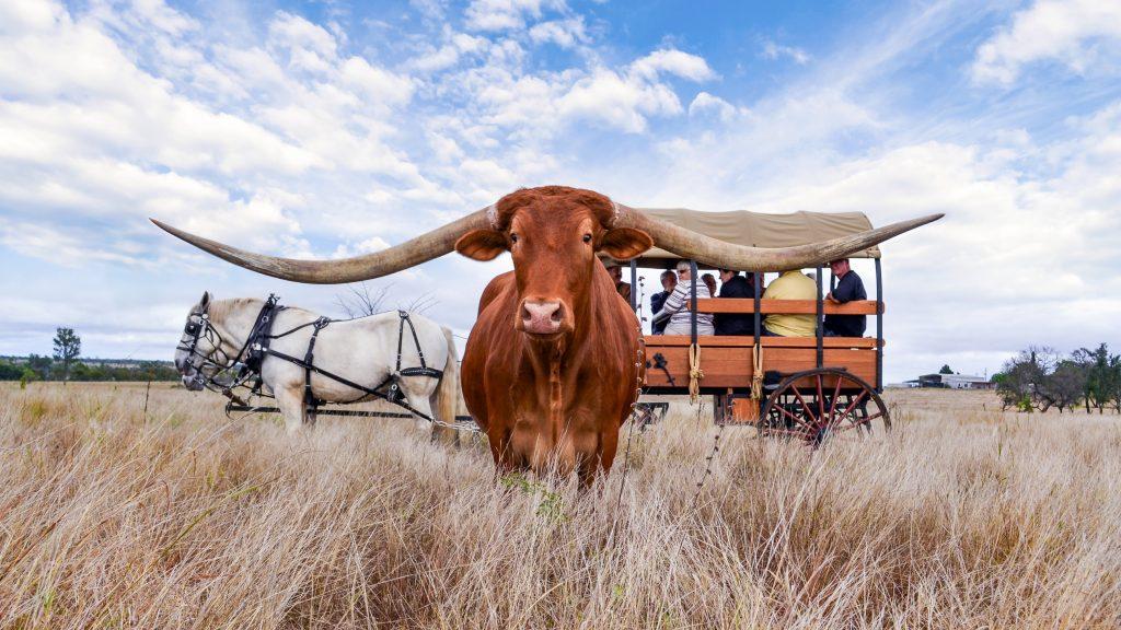 Leahton Farm Townsville Texas Longhorn tours