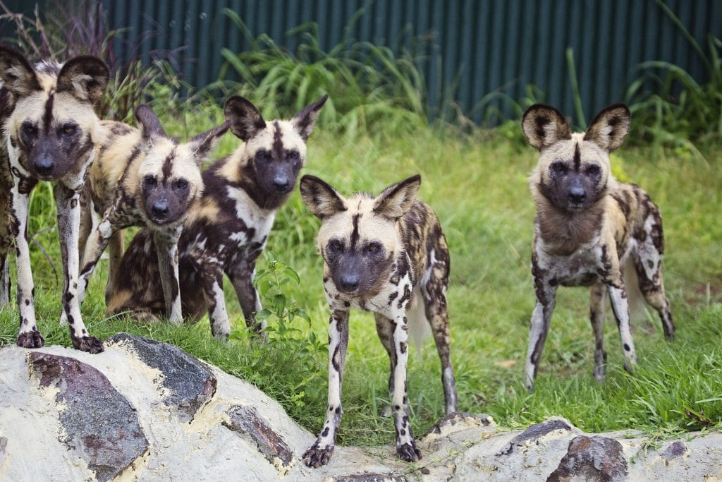Painted dogs at Wildlife HQ Zoo