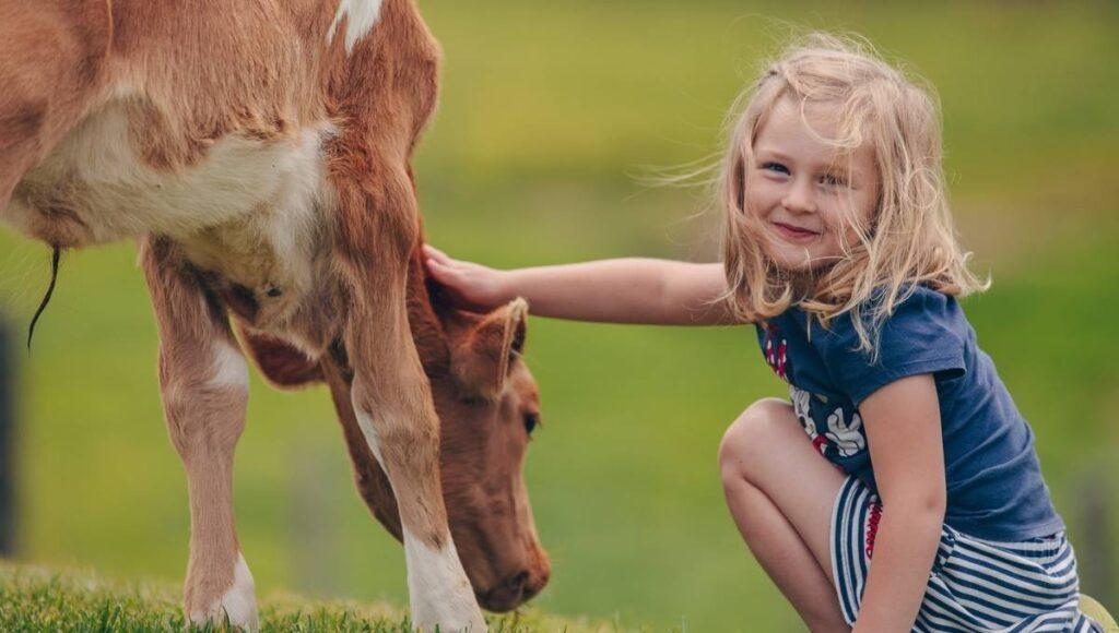 EKKA Public Holiday Maleny Dairy Cows
