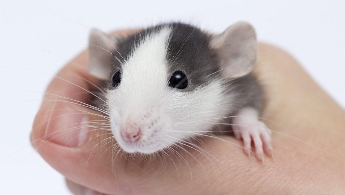 baby pocket pet rat in hand